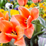 K|Lens sample photo - Spring flowers, synthetic aperture (blurred background)
